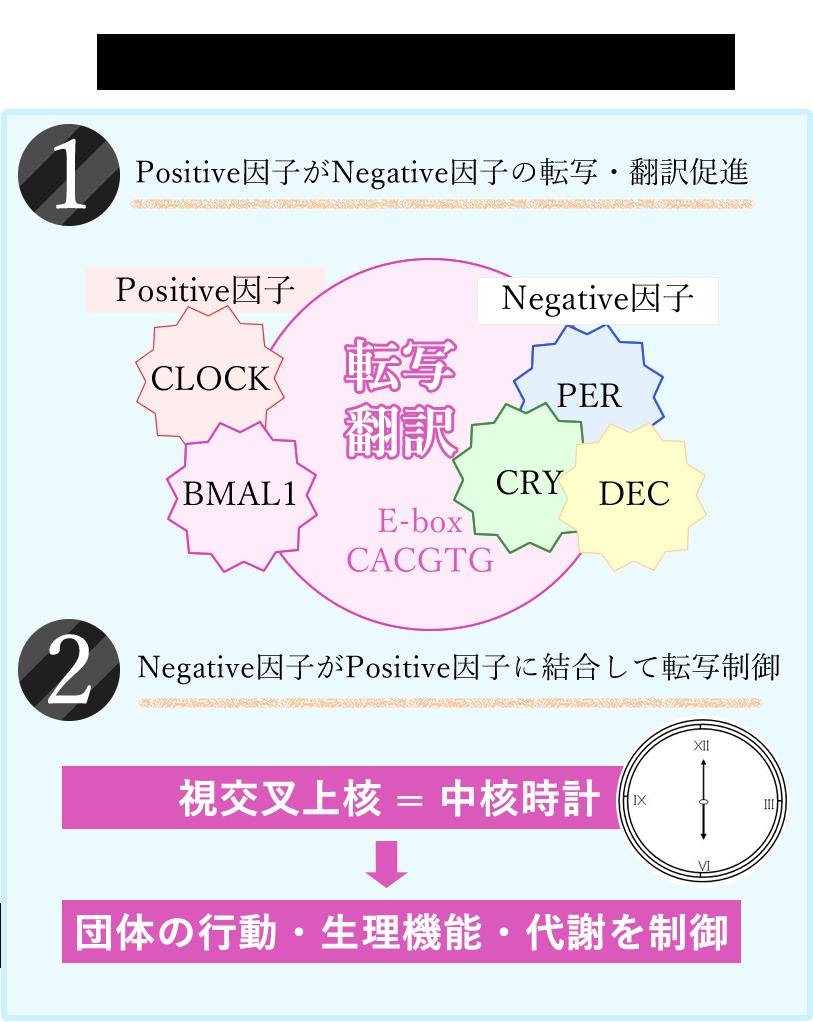 生物時計[概日リズム]の発振機構